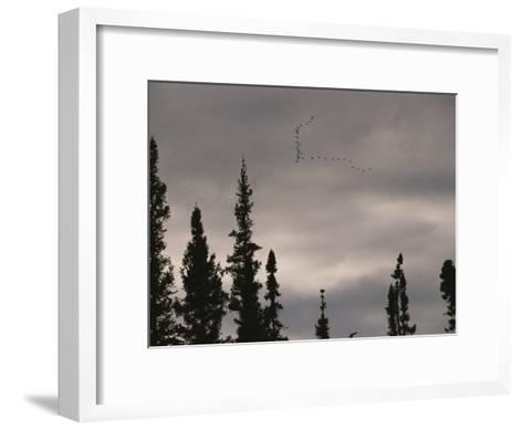 Geese Fly in Formation Above Silhouetted Pine Trees-Raymond Gehman-Framed Art Print