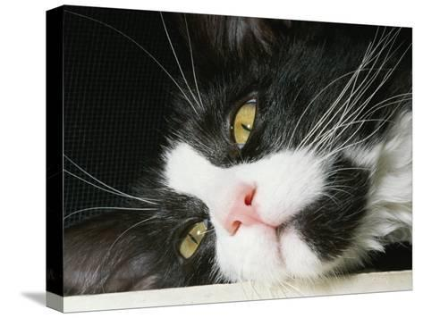 Close View of Black-And-White Short-Haired Cat-Brian Gordon Green-Stretched Canvas Print
