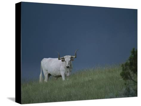 A Longhorn Steer, Part of a Small Herd Roaming Park Grasslands-Michael Melford-Stretched Canvas Print
