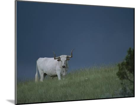 A Longhorn Steer, Part of a Small Herd Roaming Park Grasslands-Michael Melford-Mounted Photographic Print