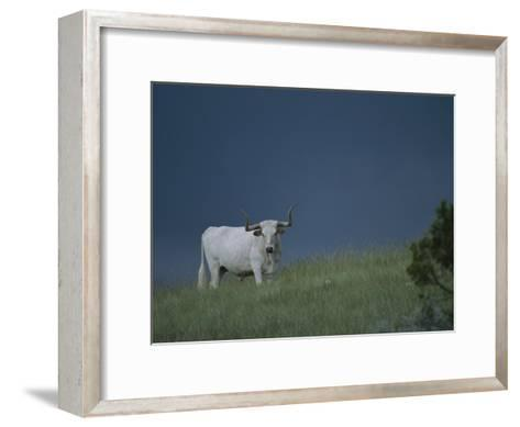 A Longhorn Steer, Part of a Small Herd Roaming Park Grasslands-Michael Melford-Framed Art Print