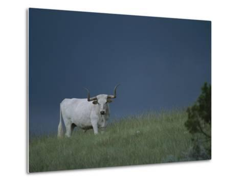A Longhorn Steer, Part of a Small Herd Roaming Park Grasslands-Michael Melford-Metal Print