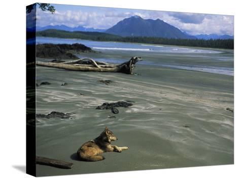 Gray Wolf on Beach-Joel Sartore-Stretched Canvas Print