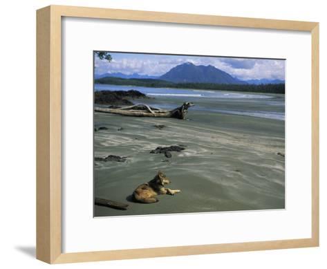 Gray Wolf on Beach-Joel Sartore-Framed Art Print
