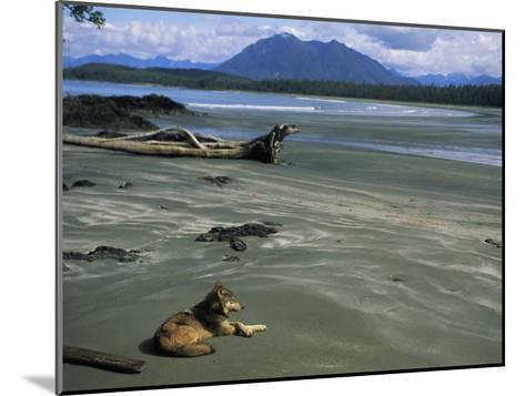Gray Wolf on Beach-Joel Sartore-Mounted Photographic Print