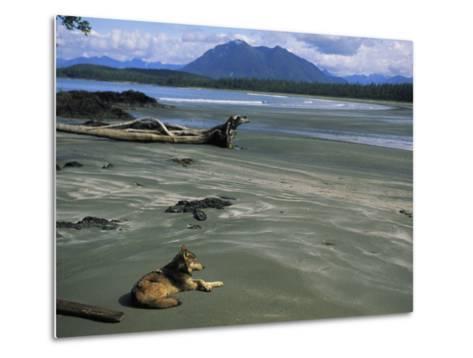 Gray Wolf on Beach-Joel Sartore-Metal Print