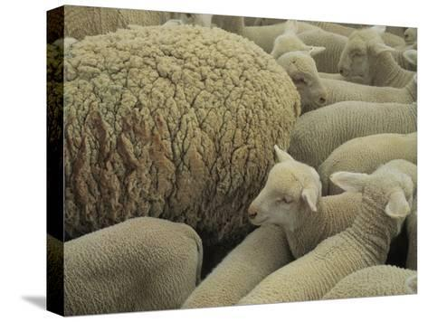 Sheep and Lambs in Pen-Joel Sartore-Stretched Canvas Print