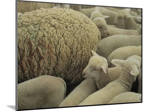Sheep and Lambs in Pen-Joel Sartore-Mounted Photographic Print