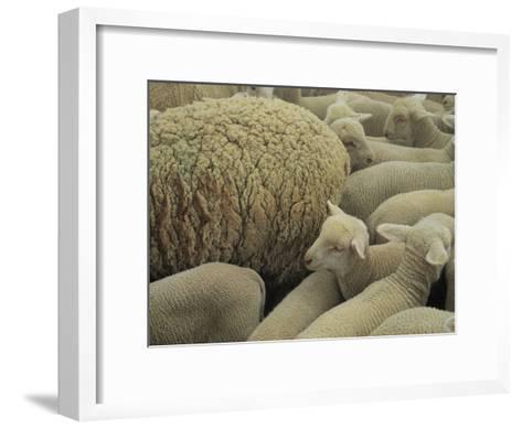 Sheep and Lambs in Pen-Joel Sartore-Framed Art Print