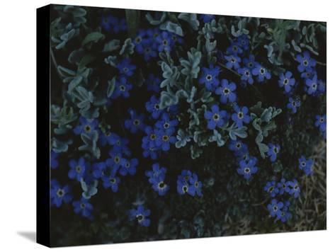 Alpine Forget-Me-Nots Wildflowers, Beartooth Wilderness, Wyoming-Raymond Gehman-Stretched Canvas Print