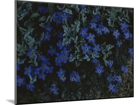 Alpine Forget-Me-Nots Wildflowers, Beartooth Wilderness, Wyoming-Raymond Gehman-Mounted Photographic Print