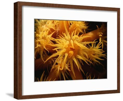 A Close View of a Cluster of Sea Anemones-Raul Touzon-Framed Art Print