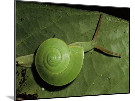 A Close View of a Green Snail on a Leaf-Tim Laman-Mounted Photographic Print