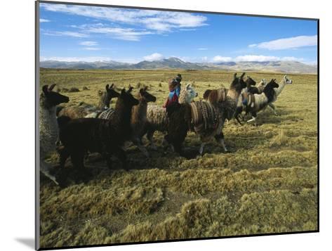 A Herder Walks Her Flock of Llamas Towards Lake Titicaca-Kenneth Garrett-Mounted Photographic Print