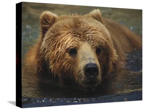 A Close View of a Captive Kodiak Bear Swimming-Tim Laman-Stretched Canvas Print