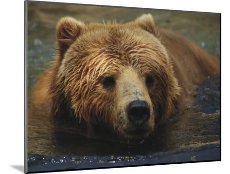 A Close View of a Captive Kodiak Bear Swimming-Tim Laman-Mounted Photographic Print