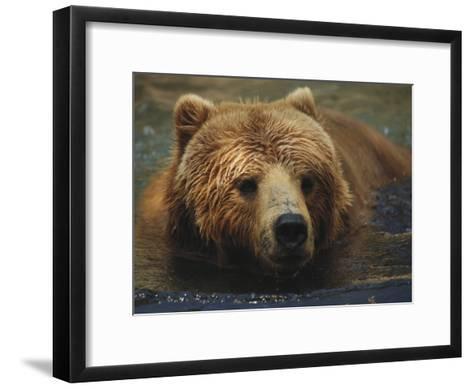 A Close View of a Captive Kodiak Bear Swimming-Tim Laman-Framed Art Print