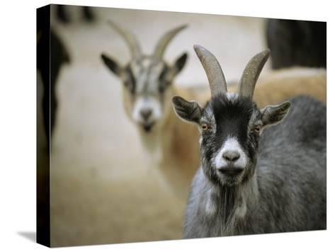 A Pair of Domestic Goats, Capra Hircus Hircus-Joel Sartore-Stretched Canvas Print