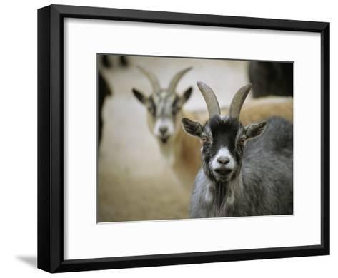 A Pair of Domestic Goats, Capra Hircus Hircus-Joel Sartore-Framed Art Print