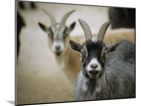 A Pair of Domestic Goats, Capra Hircus Hircus-Joel Sartore-Mounted Photographic Print