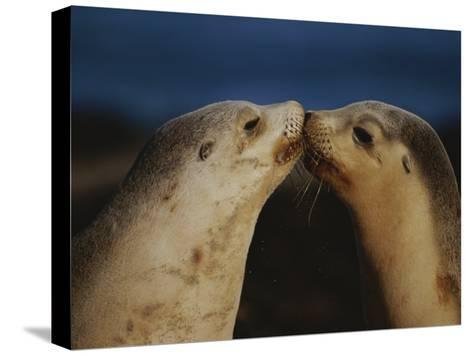 Whisker Touch Display Between Two Juvenile Australian Sea Lions-Jason Edwards-Stretched Canvas Print