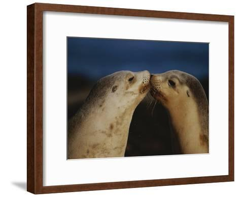 Whisker Touch Display Between Two Juvenile Australian Sea Lions-Jason Edwards-Framed Art Print