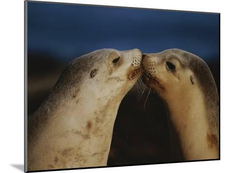 Whisker Touch Display Between Two Juvenile Australian Sea Lions-Jason Edwards-Mounted Photographic Print