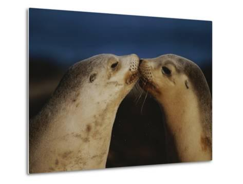Whisker Touch Display Between Two Juvenile Australian Sea Lions-Jason Edwards-Metal Print