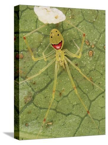 Closeup of a Happy Face Spider (Theridion Grallator) Guarding Her Eggs-Darlyne A^ Murawski-Stretched Canvas Print