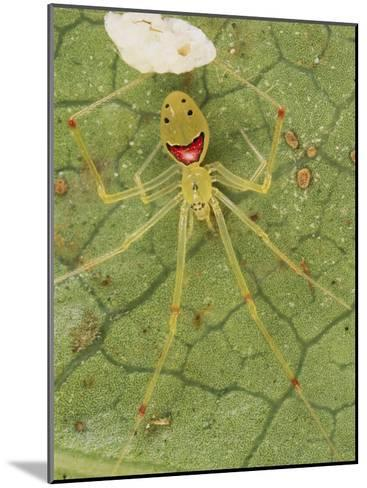 Closeup of a Happy Face Spider (Theridion Grallator) Guarding Her Eggs-Darlyne A^ Murawski-Mounted Photographic Print
