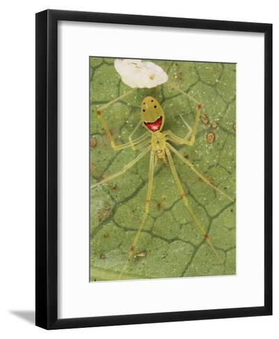 Closeup of a Happy Face Spider (Theridion Grallator) Guarding Her Eggs-Darlyne A^ Murawski-Framed Art Print