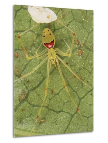 Closeup of a Happy Face Spider (Theridion Grallator) Guarding Her Eggs-Darlyne A^ Murawski-Metal Print