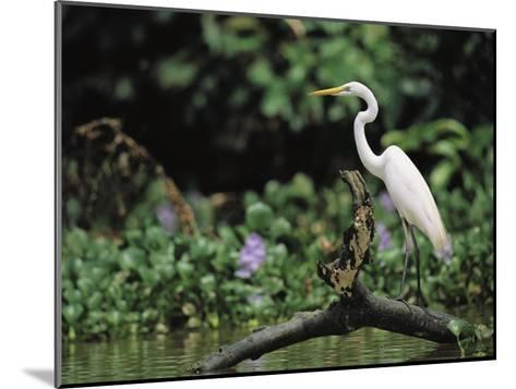 A Great Egret, Casmerodius Albus, Perches on Fallen Tree Limb-Tim Laman-Mounted Photographic Print