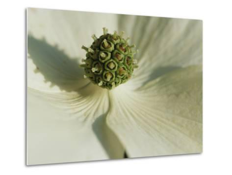 Close View of a Dogwood Blossom-Darlyne A^ Murawski-Metal Print