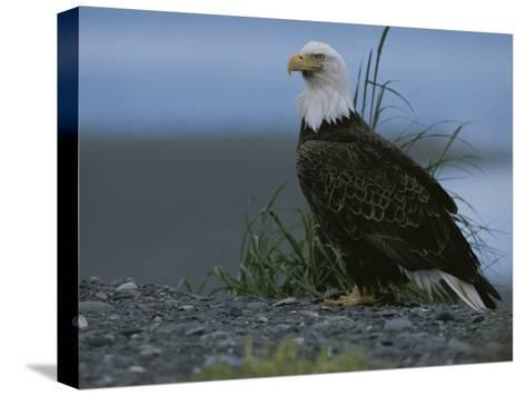 A Close View of an American Bald Eagle in Profile-Roy Toft-Stretched Canvas Print