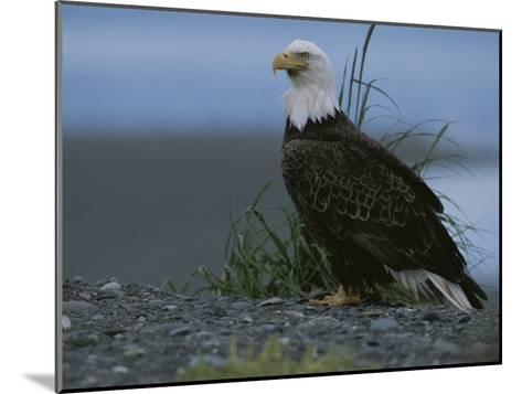 A Close View of an American Bald Eagle in Profile-Roy Toft-Mounted Photographic Print