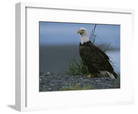 A Close View of an American Bald Eagle in Profile-Roy Toft-Framed Art Print