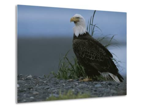A Close View of an American Bald Eagle in Profile-Roy Toft-Metal Print