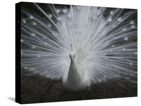 A Beautiful Albino Peacock (Pavo Species) Walks Toward the Camera-Paul Damien-Stretched Canvas Print
