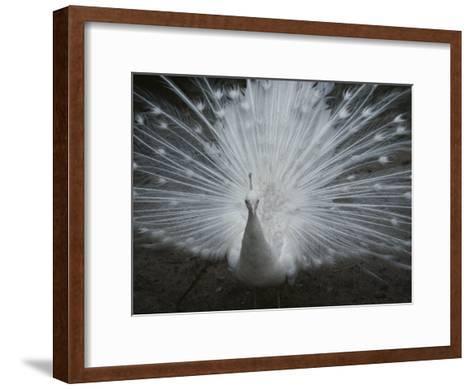 A Beautiful Albino Peacock (Pavo Species) Walks Toward the Camera-Paul Damien-Framed Art Print