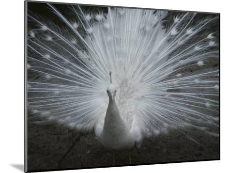 A Beautiful Albino Peacock (Pavo Species) Walks Toward the Camera-Paul Damien-Mounted Photographic Print