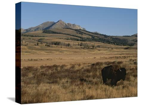 An American Bison Standing in a Prairie-Tom Murphy-Stretched Canvas Print
