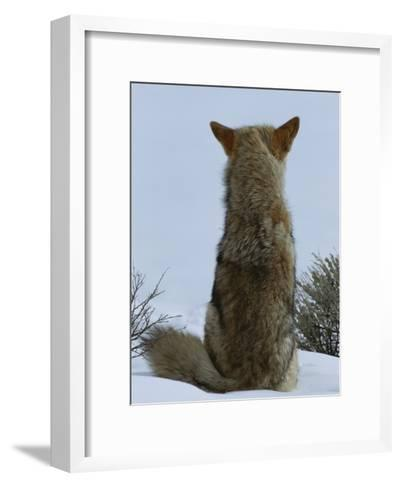 A Coyote Sitting in the Snow Looking out over a White Landscape-Tom Murphy-Framed Art Print