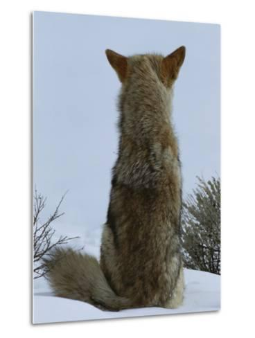 A Coyote Sitting in the Snow Looking out over a White Landscape-Tom Murphy-Metal Print