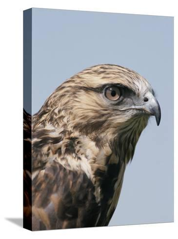 A Close View of the Head of a Rough-Legged Hawk, Buteo Lagopus-Tom Murphy-Stretched Canvas Print