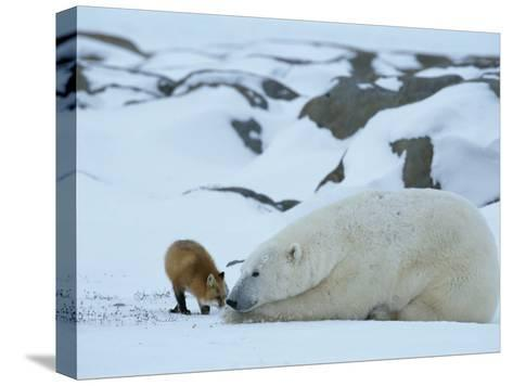 A Red Fox, Vulpes Vulpes, Noses a Polar Bear, Ursus Maritimus-Norbert Rosing-Stretched Canvas Print