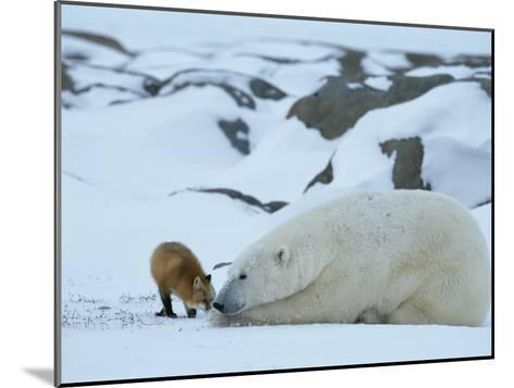 A Red Fox, Vulpes Vulpes, Noses a Polar Bear, Ursus Maritimus-Norbert Rosing-Mounted Photographic Print