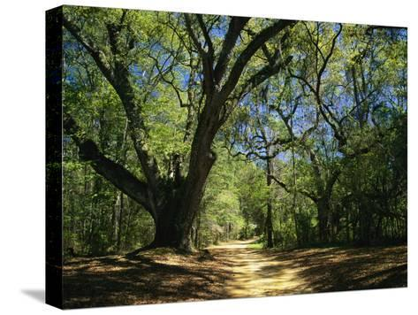 A Dirt Road Through a Forest Passes a Large Tree with Spanish Moss-Raymond Gehman-Stretched Canvas Print