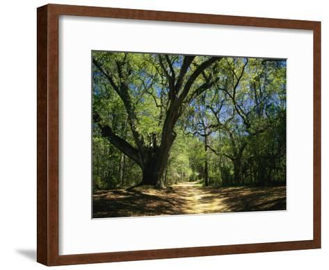 A Dirt Road Through a Forest Passes a Large Tree with Spanish Moss-Raymond Gehman-Framed Art Print