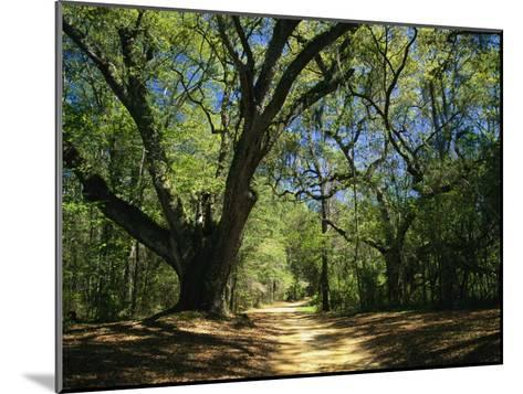A Dirt Road Through a Forest Passes a Large Tree with Spanish Moss-Raymond Gehman-Mounted Photographic Print